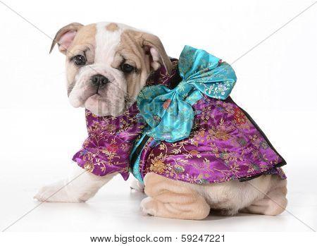 dog geisha - english bulldog puppy wearing a geisha costume isolated on white background - 9 weeks old