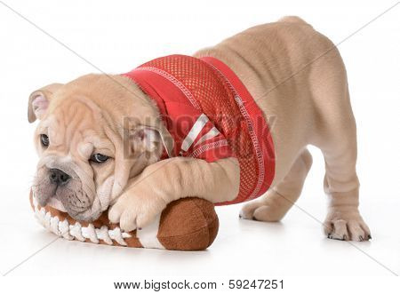sports hound - english bulldog puppy laying on stuffed football isolated on white background - 9 weeks old