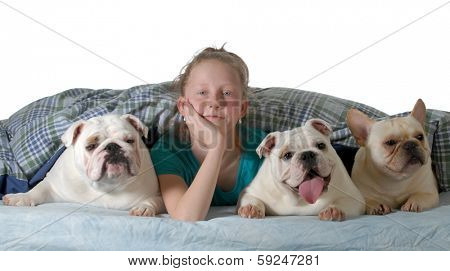 dogs in the bed - two english bulldogs and a french bulldog under the covers with preteen girl isolated on white background