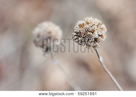 Thistle In The Winter