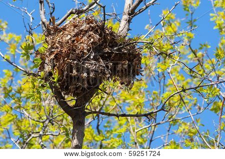 Tree Squirrel Nest High Up In A Tree
