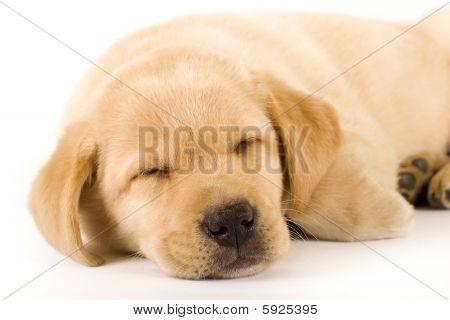 Closeup Of A Labrador Retriever Puppy Sleeping