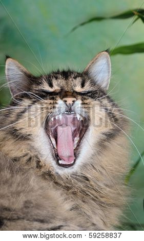 cat with wide open mouth close up
