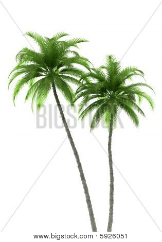 two palm trees isolated on white background