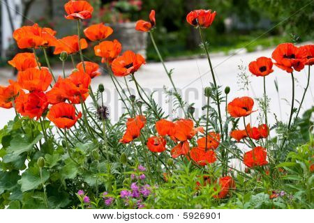 Wild red poppies by the side of the road