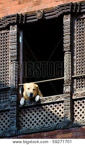 Dog looking out of a window in kathmandu