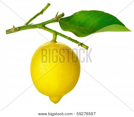 Lemon isolated on a White background. Fresh and Ripe Lime hanging on a branch with Leaf