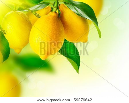 Lemon. Ripe Lemons hanging on a lemon tree. Growing Lemon poster