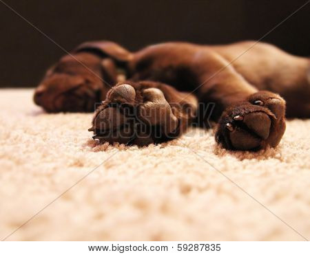 a cute chocolate lab puppy sleeping in a house with shallow depth of field (focus on the feet)