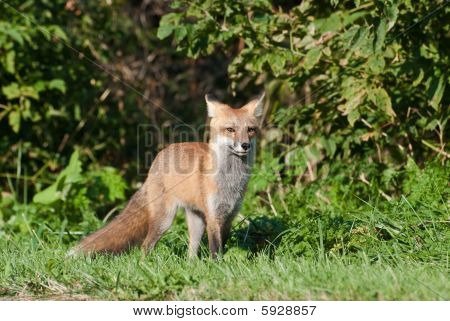 Juvenile Male Red Fox