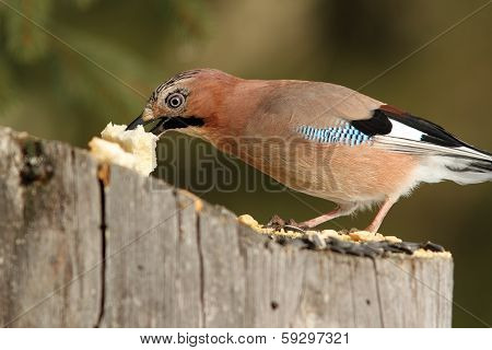 European Jay Grabbing A Piece Of Bread