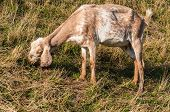 stock photo of nubian  - Closeup of a typical female Nubian goat while eating grass - JPG