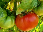 stock photo of mixture  - pink home grown tomatoes sprayed with Bordeaux mixture to protect against fungal infections - JPG