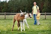 picture of lamas  - Father and son looking at two baby lamas playing together - JPG