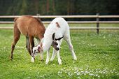 stock photo of lamas  - Two baby lamas playing together - JPG