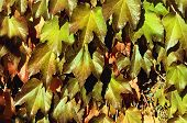 image of creeper  - Photo of the Virginia Green Creeper Background - JPG