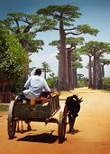 foto of zebu  - Zebu cart on a dry road leading through baobab alley - JPG