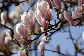 stock photo of japanese magnolia  - Pink Magnolia flowers on blu sky - JPG