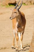stock photo of eland  - young taurotragus derbianus or common Eland - JPG