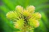 picture of pain-tree  - Wollemi pine tree - JPG