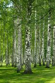 stock photo of birchwood  - Birchwood forest in a summer day - JPG