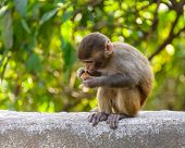 A baby macaque eating an orange in Swayambhunath, Kathmandu, Nepal