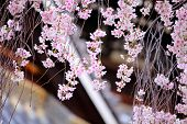 image of weeping  - Weeping cherry flower with japanese temple background - JPG