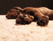 stock photo of chocolate lab  - a cute chocolate lab puppy sleeping in a house with shallow depth of field  - JPG