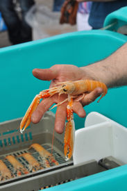 picture of norway lobster  - A hand shows a Norway lobster, on a market place