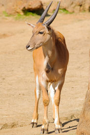 picture of eland  - young taurotragus derbianus or common Eland - JPG