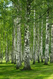 stock photo of birchwood  - Birchwood forest in a summer day - JPG