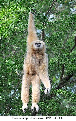 White Cheek Gibbon