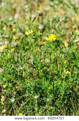 Yellow Blooming Meadow Vetchling From Close