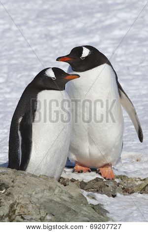 Male And Female Gentoo Penguins Which Stand Near The Site Where There Was A Nest