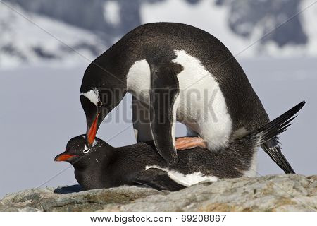 Female And Male Penguin Gentoo During Mating