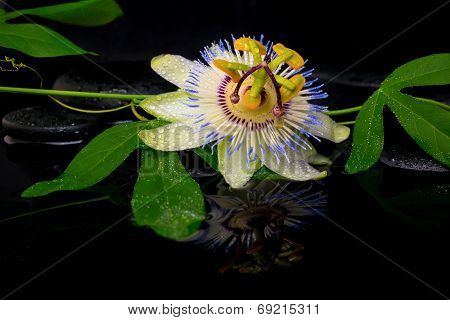 Beautiful Spa Setting Of Passiflora Flower And Green Branch On Zen Stones With Reflection In Water,