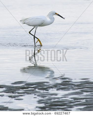 Egret Surf Feeding