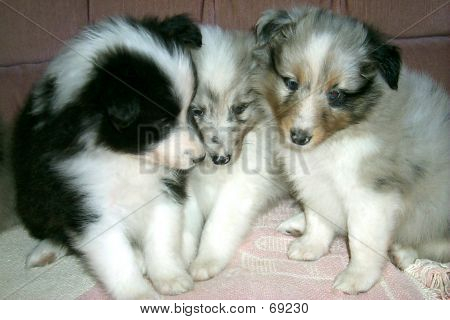 Sheltie Puppies 1
