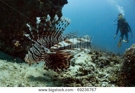 Scuba diver watching Lion fish in rocks underwater