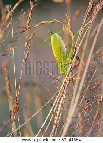 Big Green Grasshopper On A Hay Straw