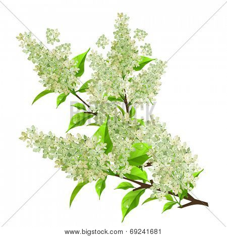 Branch of white lilac with leaves isolated on white