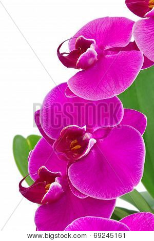 Orchid With Green Leaf