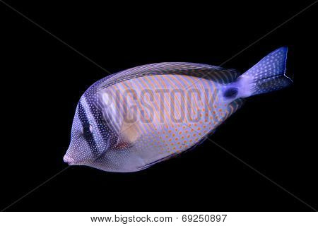 Red Sea Sailfin Tang Isolated On Black Background
