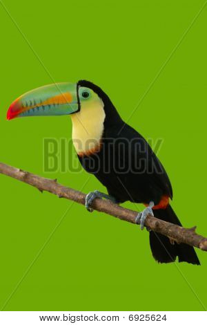 Toucan Bird Colorful In Green Background