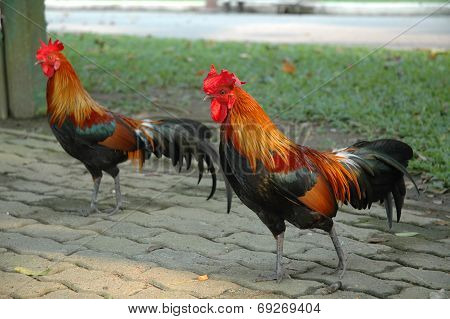 Free-range Rooster on Foothpath