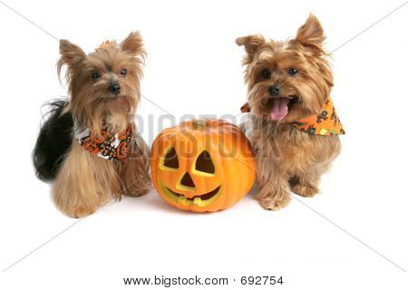 Yorkies At Halloween