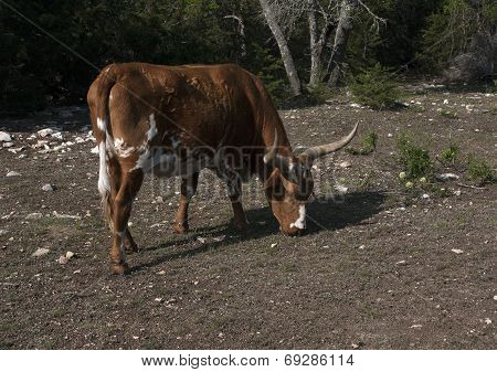 Longhorn in a Dry Pasture