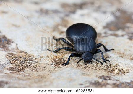 Dung Beetle. Scarabaeidae