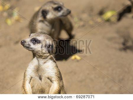 Meerkat (suricata Suricatta) With Curious Baby, Kalahari Desert, South Africa