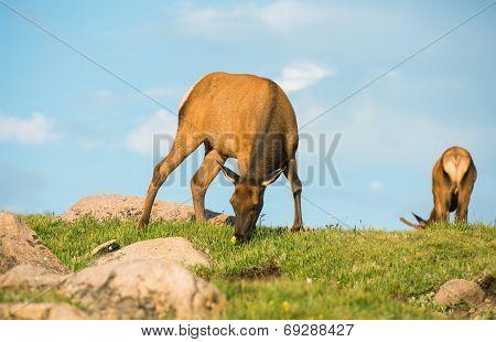 Mule Deers On The Meadow
